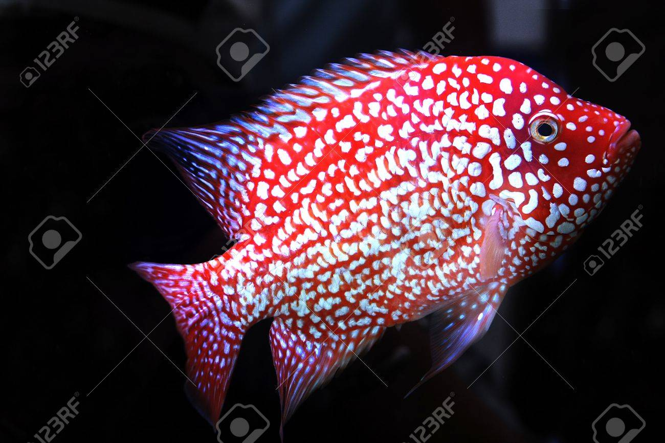 cichlid Stock Photo - 16501030