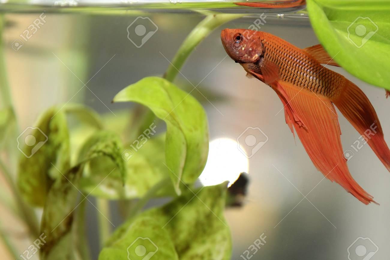 siamese fighting fish Stock Photo - 19757295