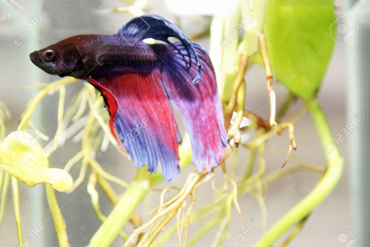 siamese fighting fish Stock Photo - 19757263