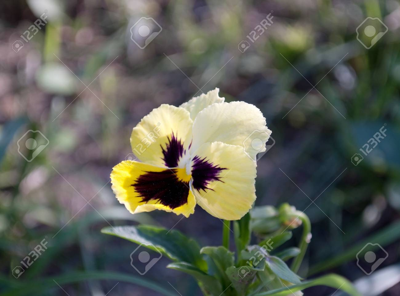 pansy flower in the flower bed Stock Photo - 7302478