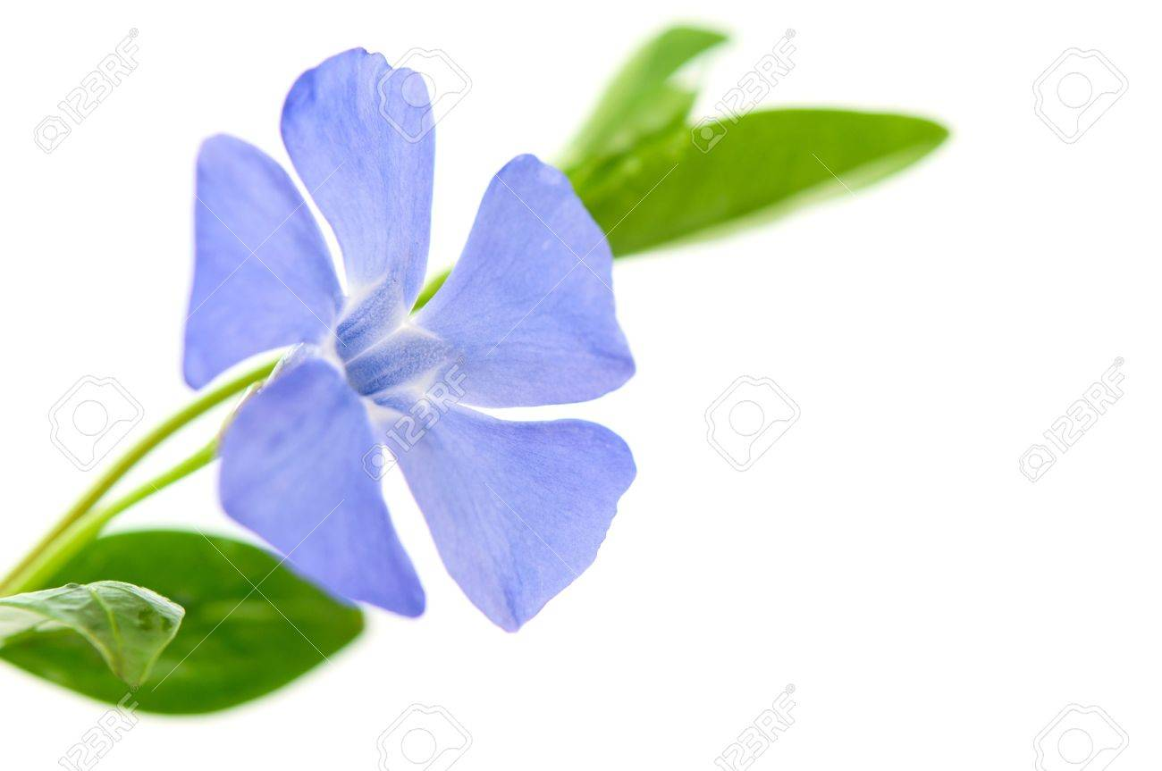 Periwinkle Flower periwinkle flower on a white
