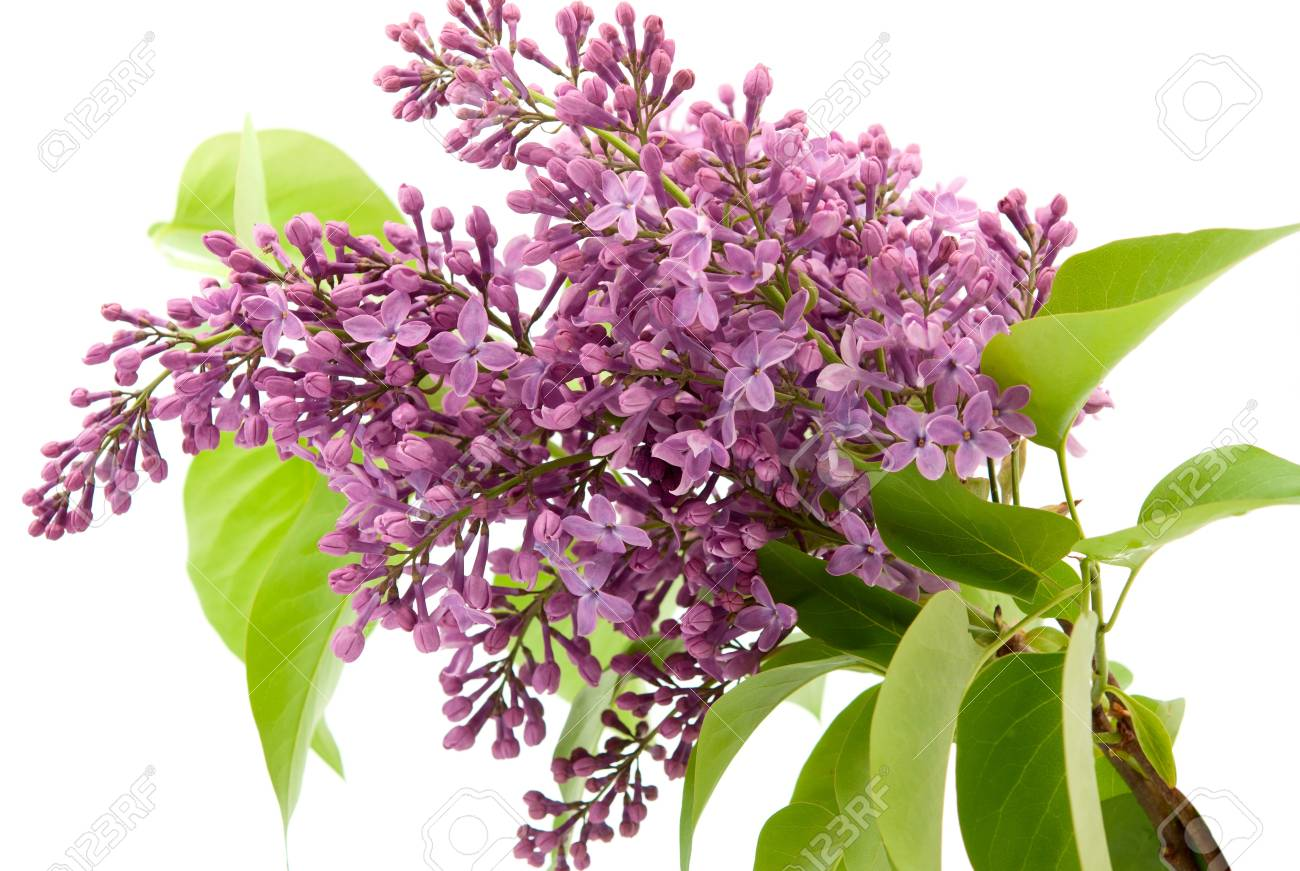 Branch of lilac on a white background Stock Photo - 9534697