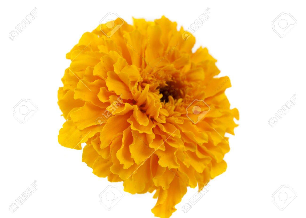 Yellow marigold flower isolated on white stock photo picture and stock photo yellow marigold flower isolated on white mightylinksfo