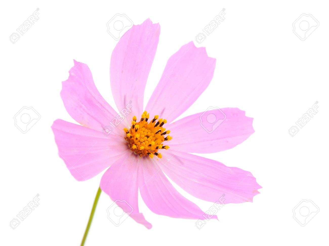 Summer Flower On White Background Stock Photo Picture And Royalty