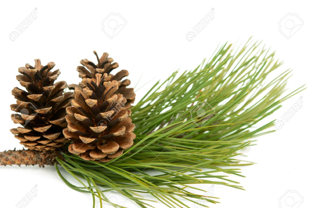 branch with pine cone on white background Stock Photo - 11469341