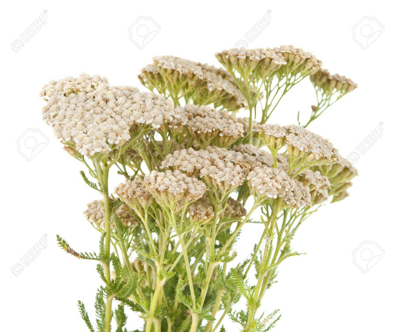 Yarrow herb isolated on white background Stock Photo - 14108391