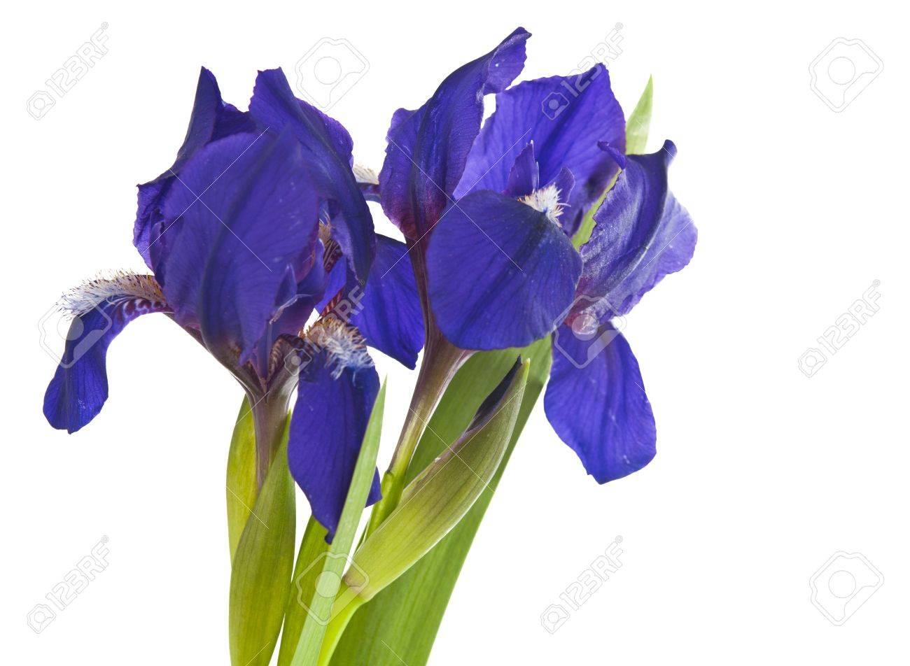 Iris flower isolated on white background Stock Photo - 16004130