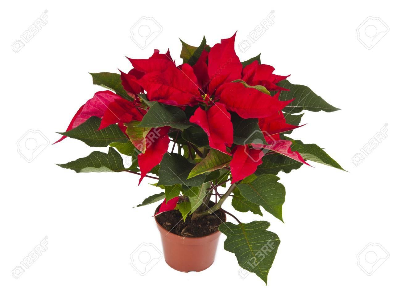 Immagini Di Fiori Di Natale.Stella Di Natale E Un Fiore Di Natale Tradizionale E Noto Come Bethlehem Star In Alcuni Paesi
