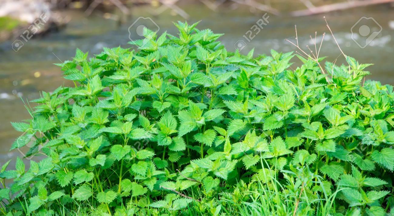 Green nettle field in spring Stock Photo - 19374942