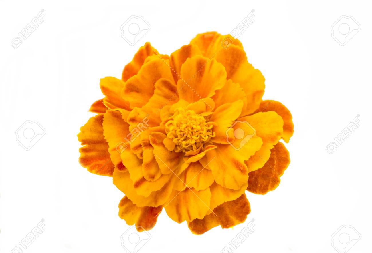 Marigold flowers on a white background stock photo picture and marigold flowers on a white background stock photo 32350018 mightylinksfo