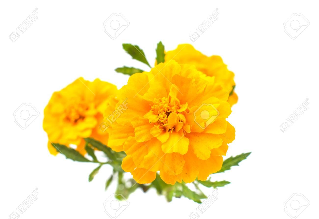 Marigold flowers on a white background stock photo picture and marigold flowers on a white background stock photo 32350020 mightylinksfo