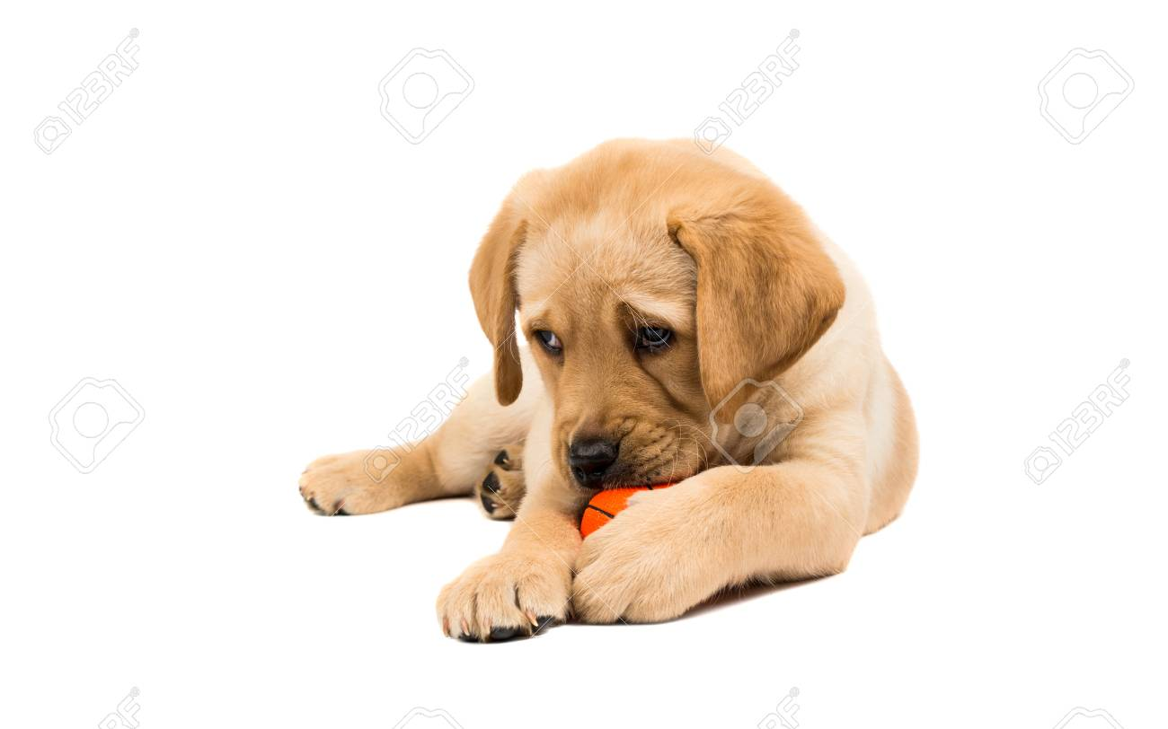 Labrador Puppies On A White Background Stock Photo Picture And