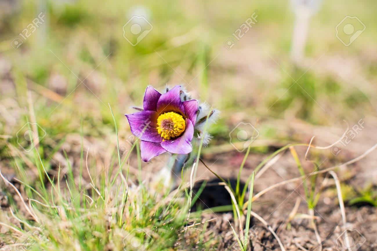 Premieres Fleurs Qui Poussent Sur La Prairie De Printemps Banque D