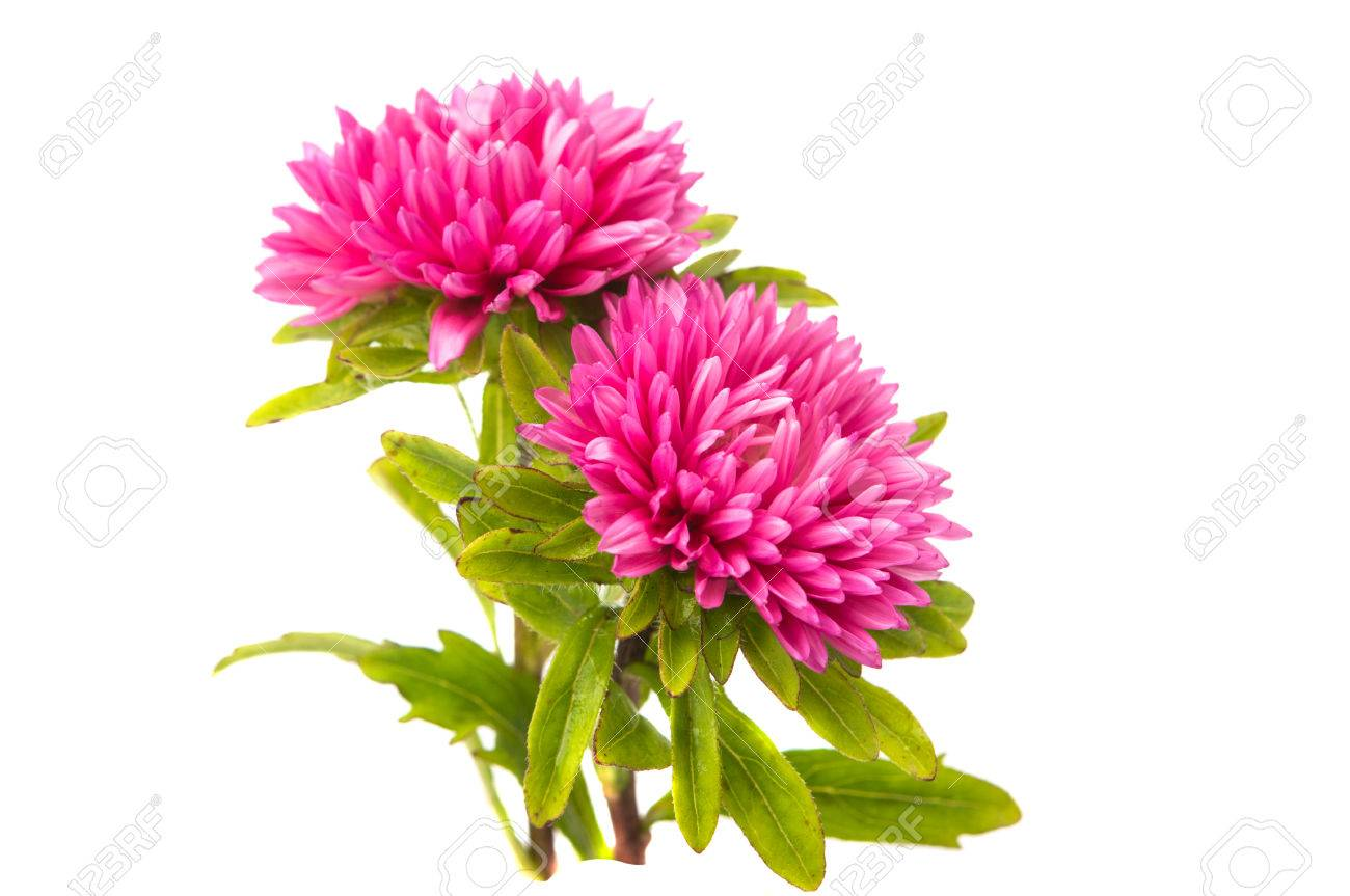 Pink aster flower on a white background stock photo picture and pink aster flower on a white background stock photo 37957588 mightylinksfo