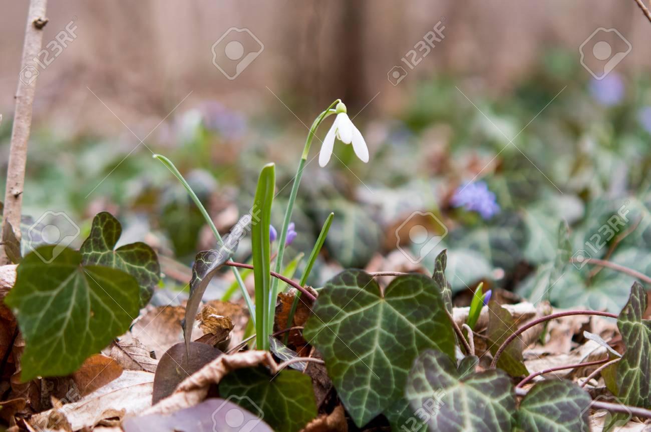 Erste Fruhlingsblumen Im Wald Lizenzfreie Fotos Bilder Und Stock