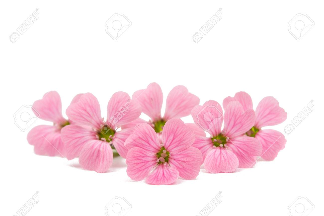 Delicate Pink Flowers On A White Background Stock Photo Picture And