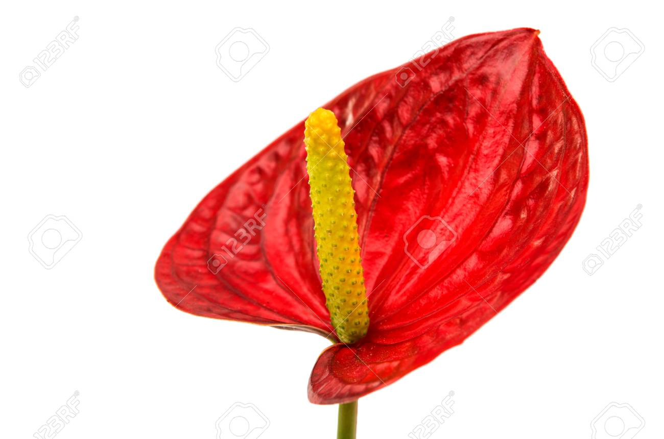Anthurium Flower Isolated On White Background Stock Photo Picture