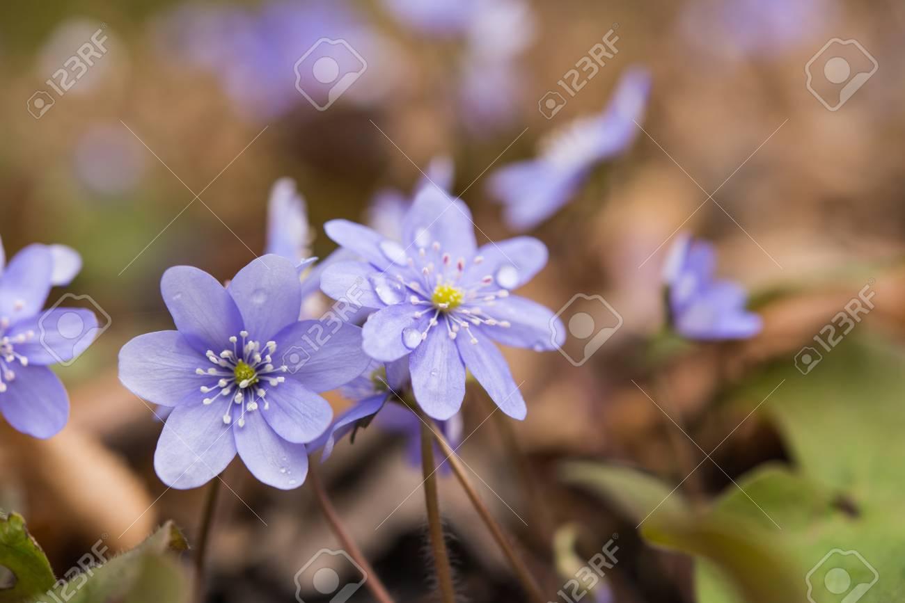 First Spring Flowers Growing In The Forest Lizenzfreie Fotos Bilder