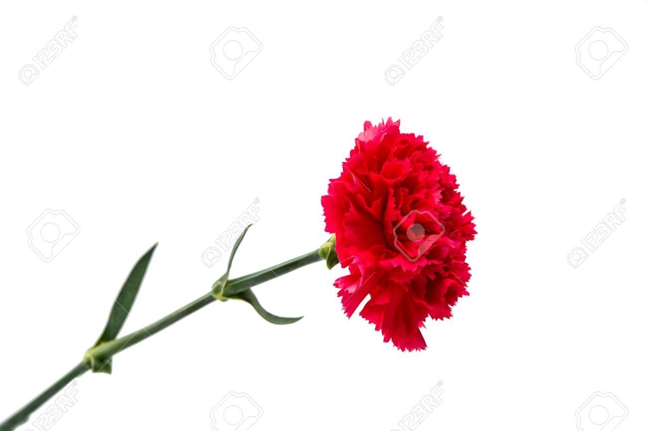 Carnation Flower Isolated On White Background Stock Photo Picture