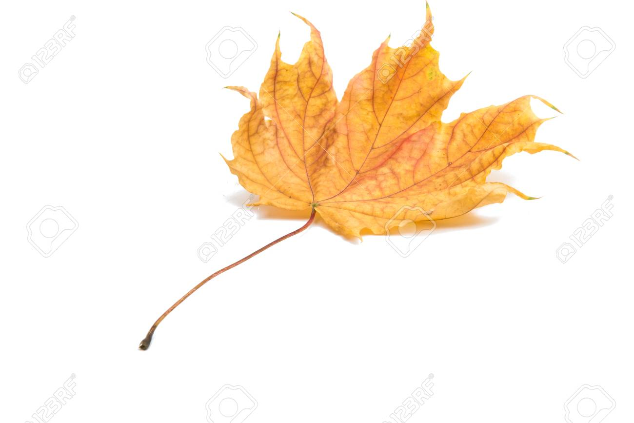 autumn maple leaf on a white background stock photo picture and