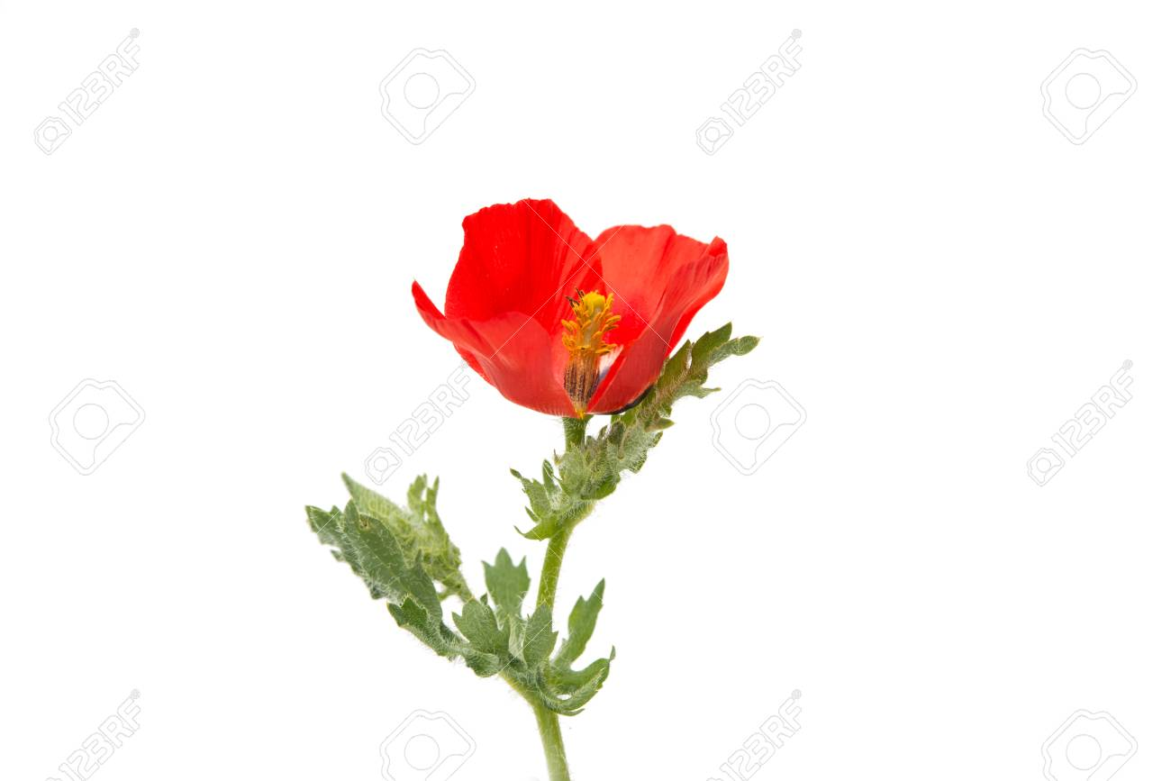 Poppy Flowers On A White Background Stock Photo Picture And Royalty
