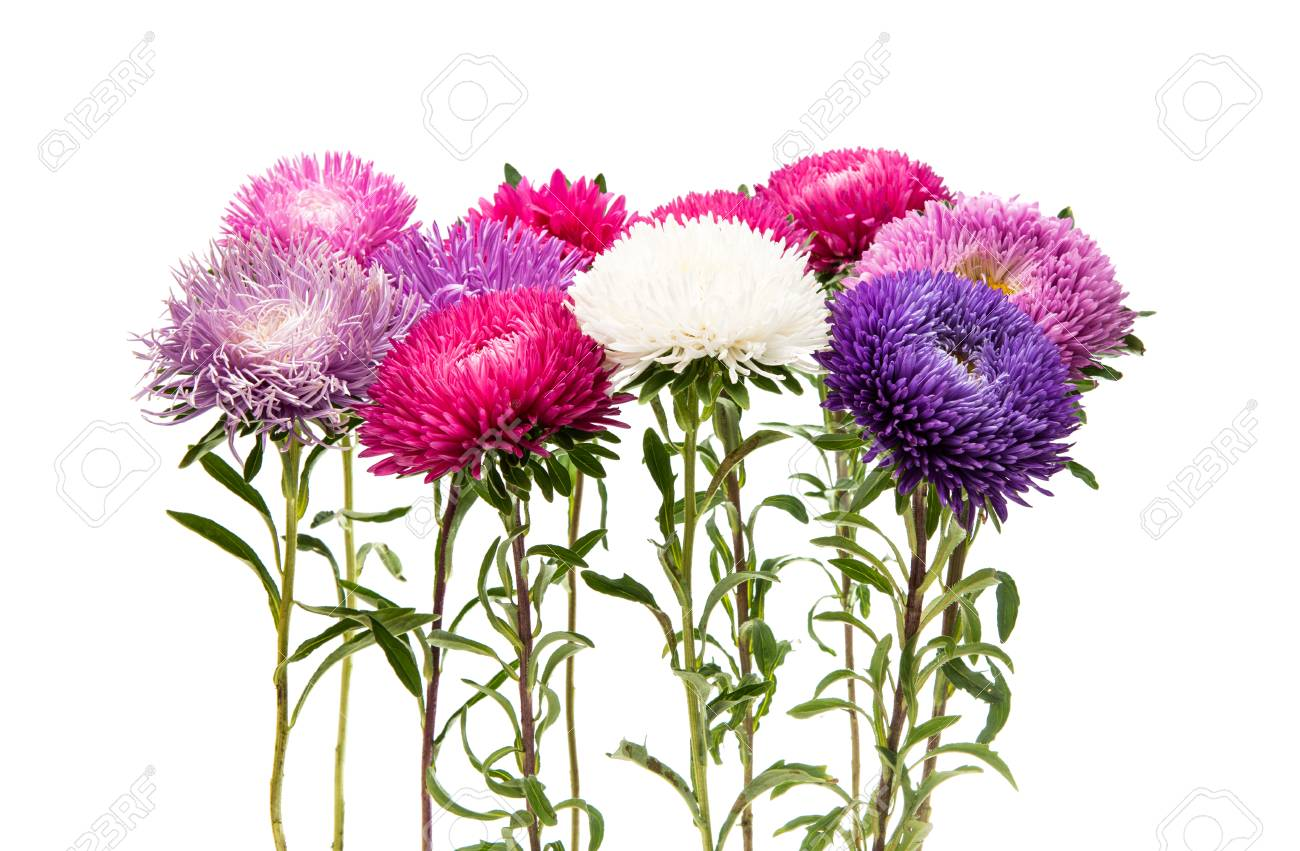 Aster Flower Isolated On White Background Stock Photo Picture And