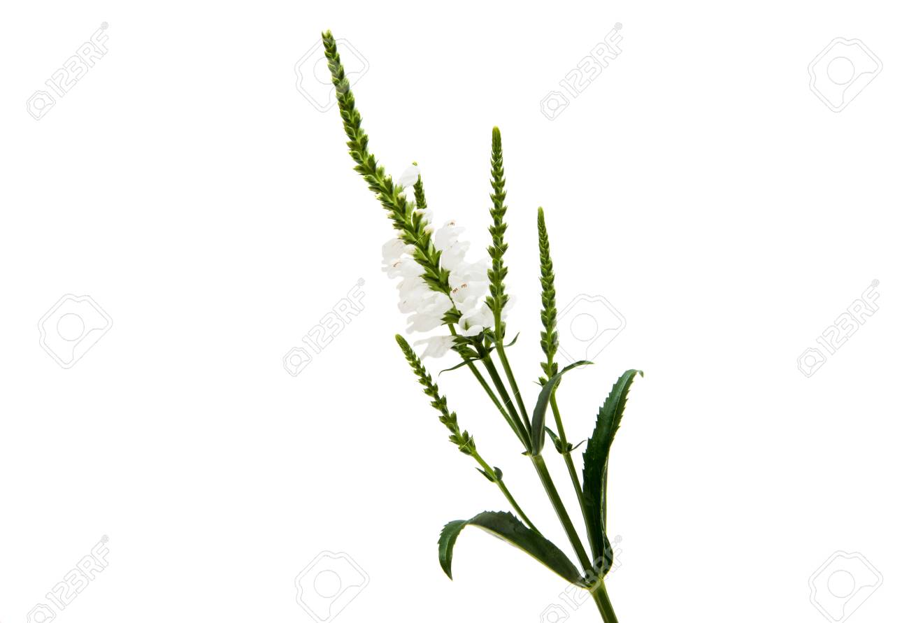 Veronica Flower On A White Background Stock Photo Picture And