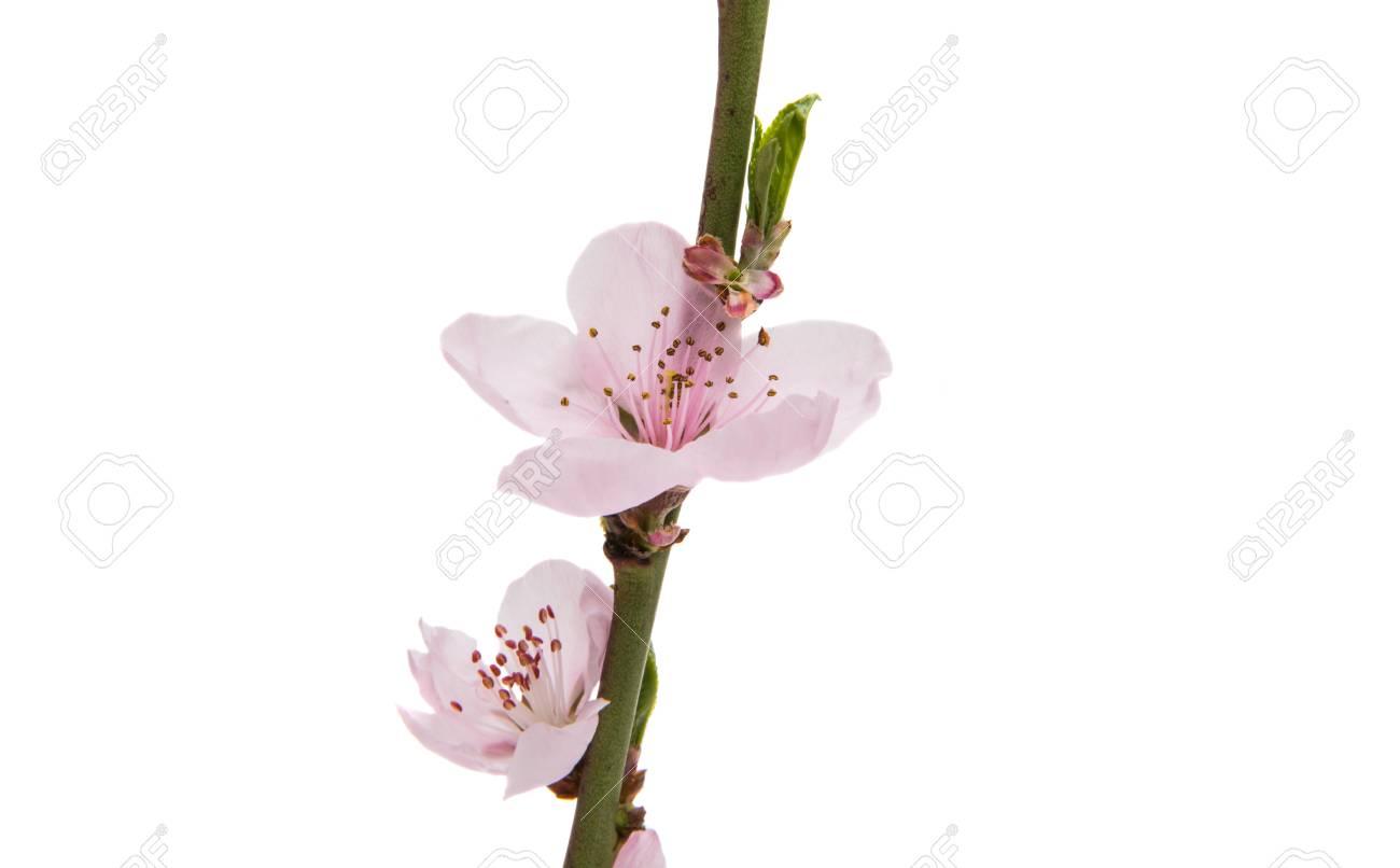 Immagini Stock Fiori Di Pesco Rosa Isolato Su Sfondo Bianco Image