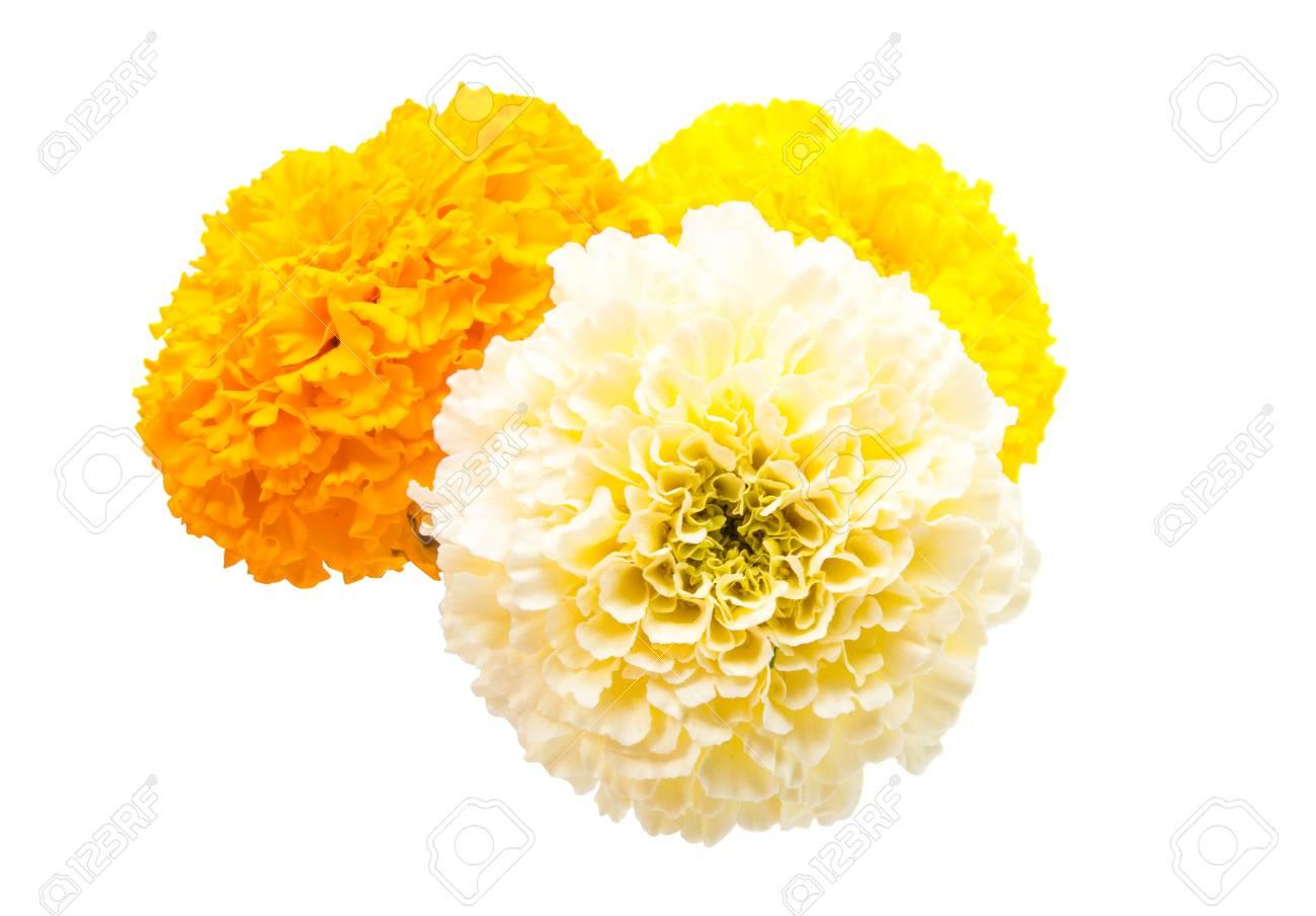 Marigold flowers on a white background stock photo picture and marigold flowers on a white background stock photo 90681344 mightylinksfo