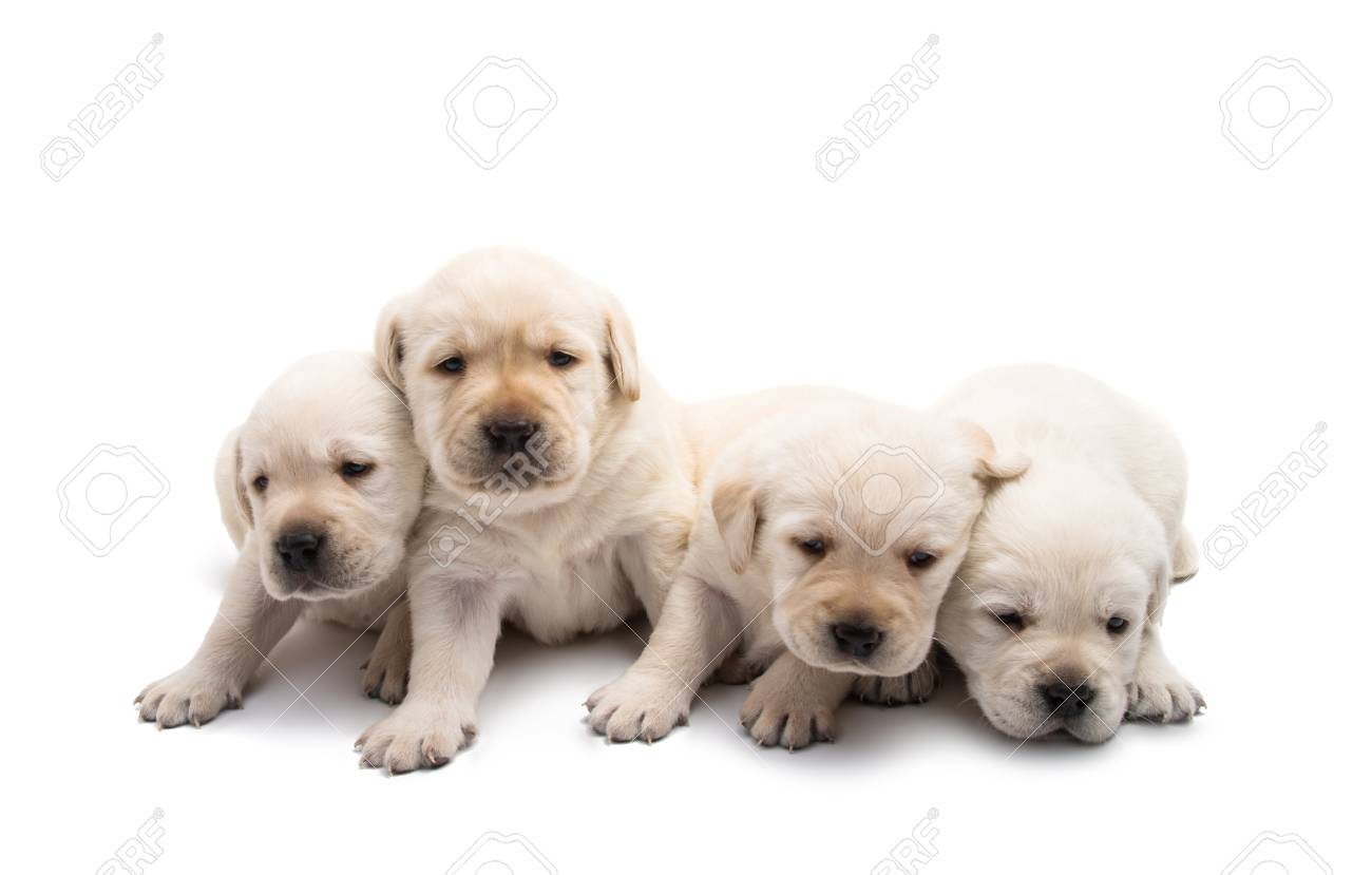 Labrador Puppies Isolated On White Background Stock Photo Picture