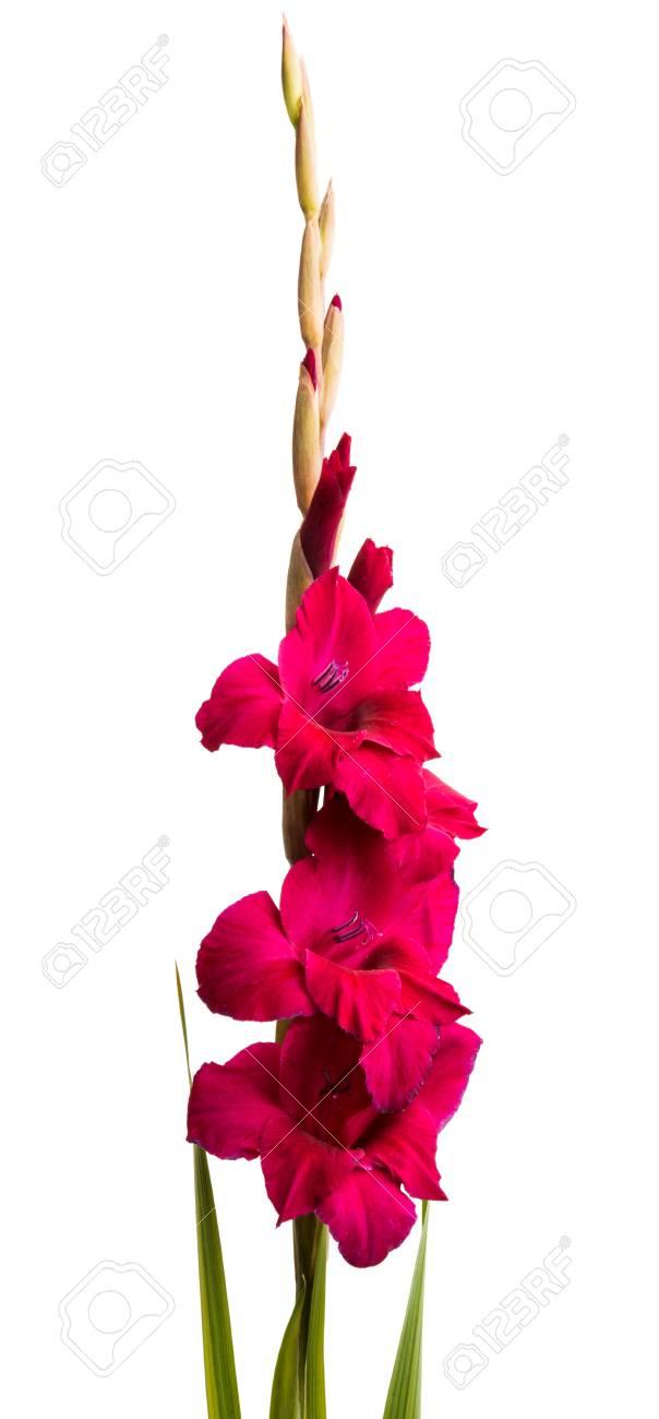Beautiful Gladiolus Flower Isolated On White Background Royalty