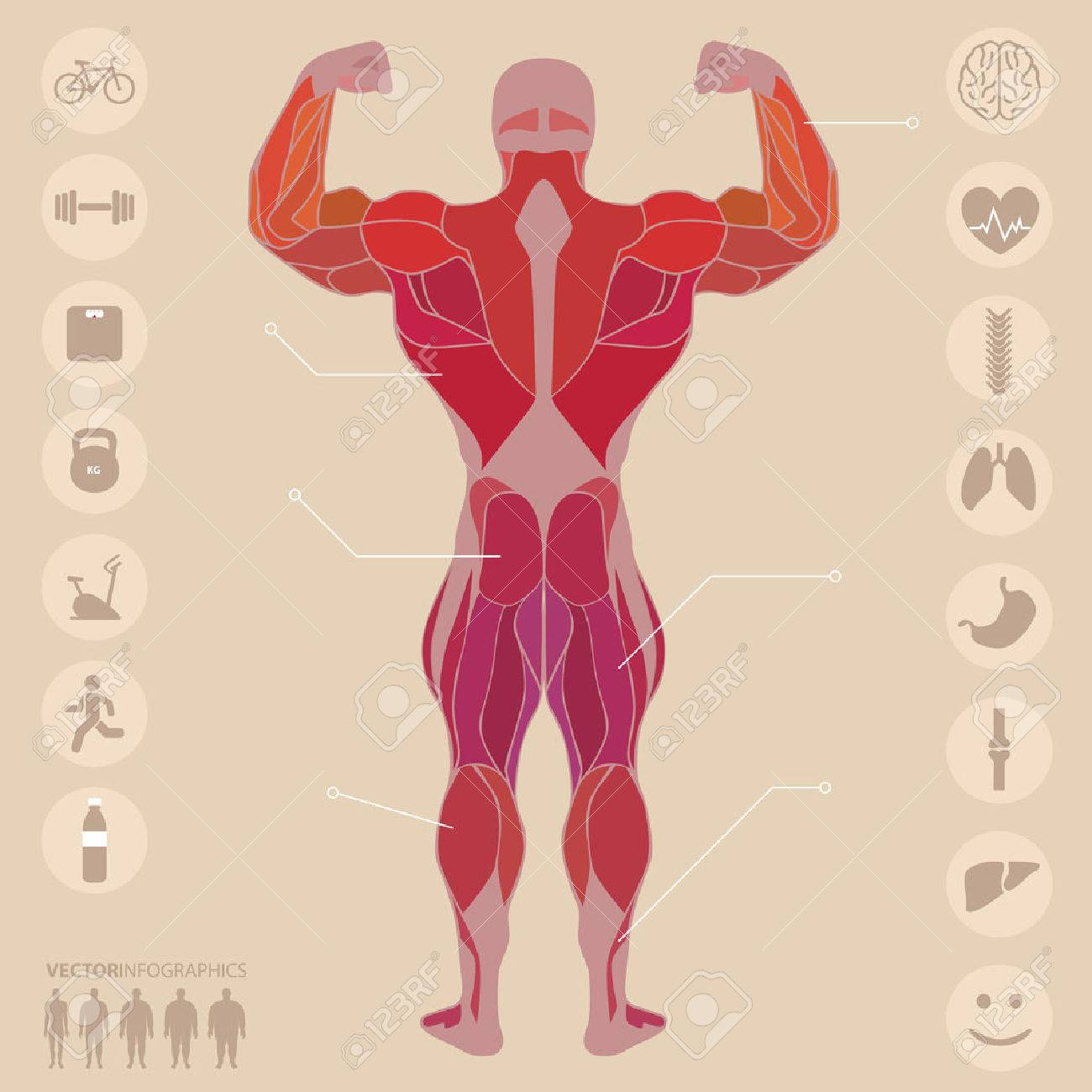 Human, Anatomy, Muscles, Back, Sports, Fitness, Medical Royalty Free ...