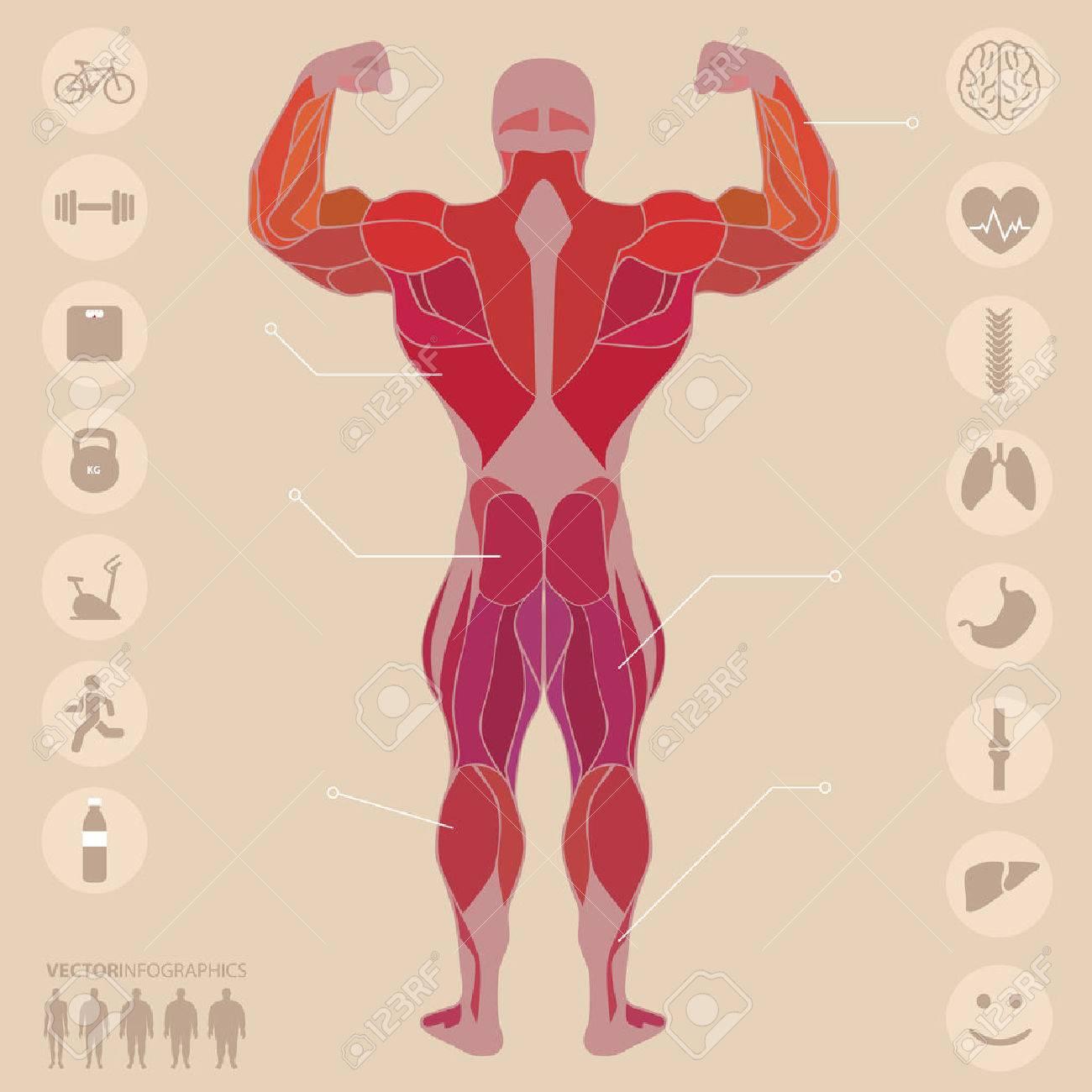 Humano, Anatomía, Músculos, Espalda, Deportes, Gimnasio, Médico ...
