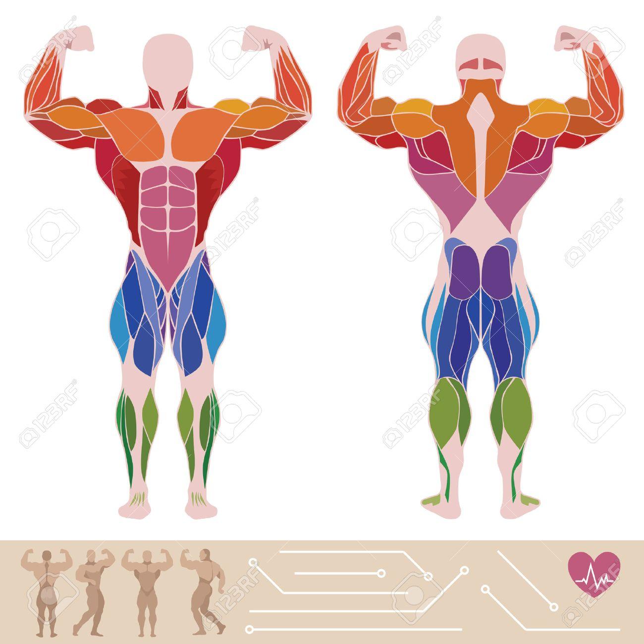 El Sistema Muscular Humano, Anatomía, Posterior Y Vista Anterior ...