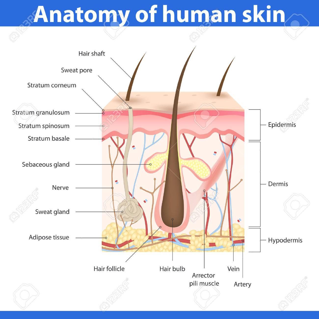 Structure of human skin, detailed description illustration - 56934739