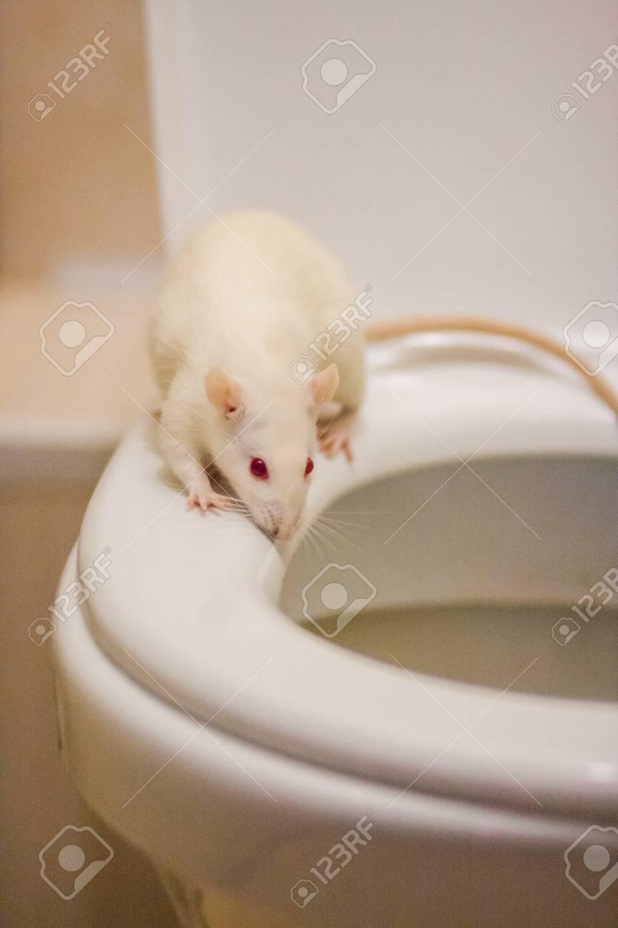 diarrhea concept  mouse white on the toilet  symbol of 2020