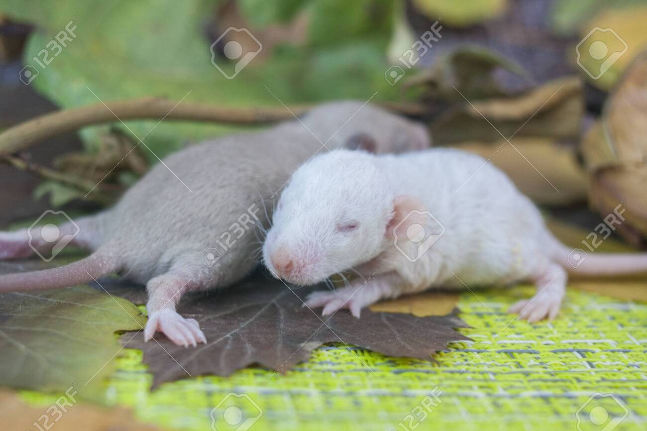 Two Little Mice Are Near Newborn Baby Rats On The Background Stock Photo Picture And Royalty Free Image Image 124755194