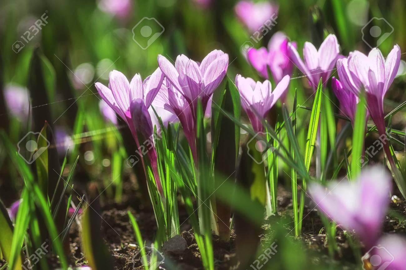 Krokuy Purple Flowers Grow In The Grass In Kontrovom Light Stock