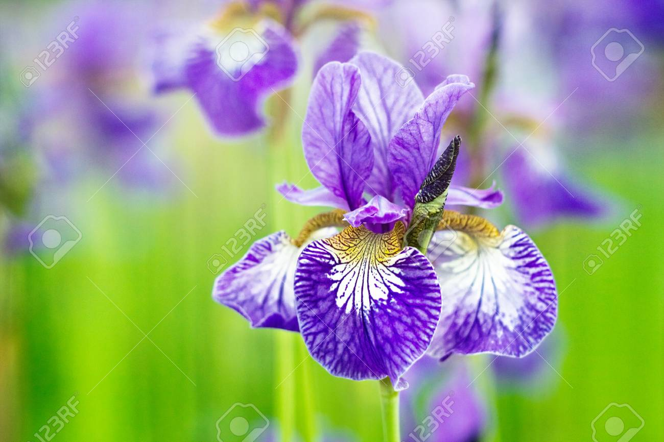 Lilac Flowers Irises Grow In The Garden Stock Photo Picture And