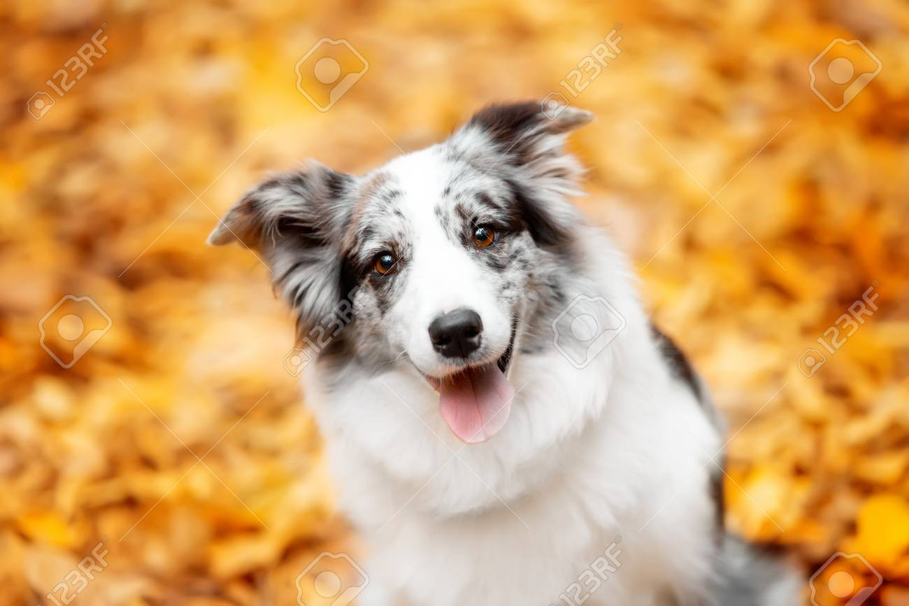 portrait marble border collie dog sitting with leaves in autumn - 94735596