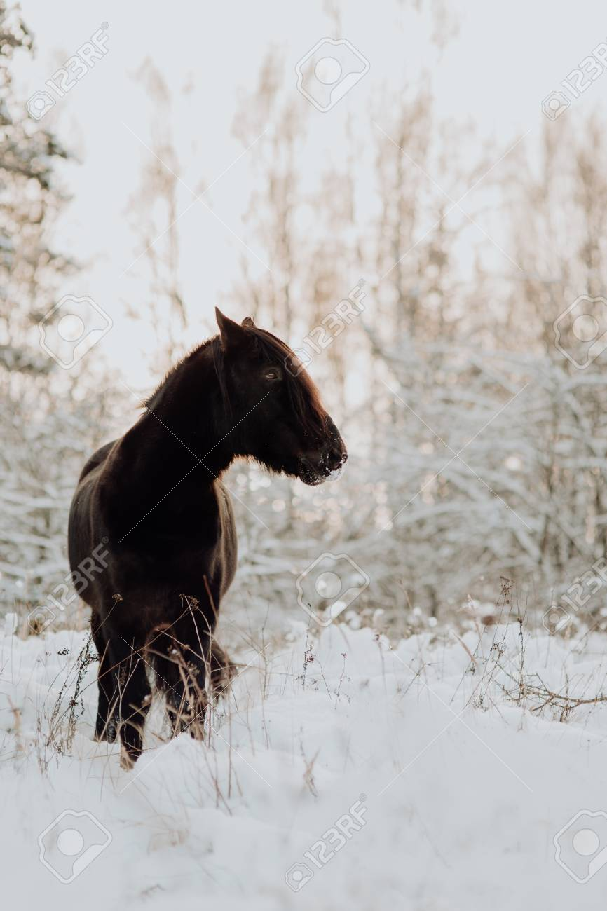 Black Horse Stand In Winter On The White Snow In Forest Stock Photo Picture And Royalty Free Image Image 119424495