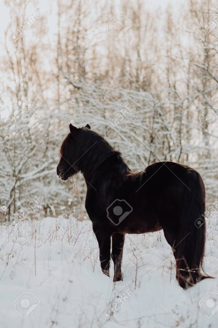 Black Horse Stand In Winter On The White Snow In Forest Stock Photo Picture And Royalty Free Image Image 119424526