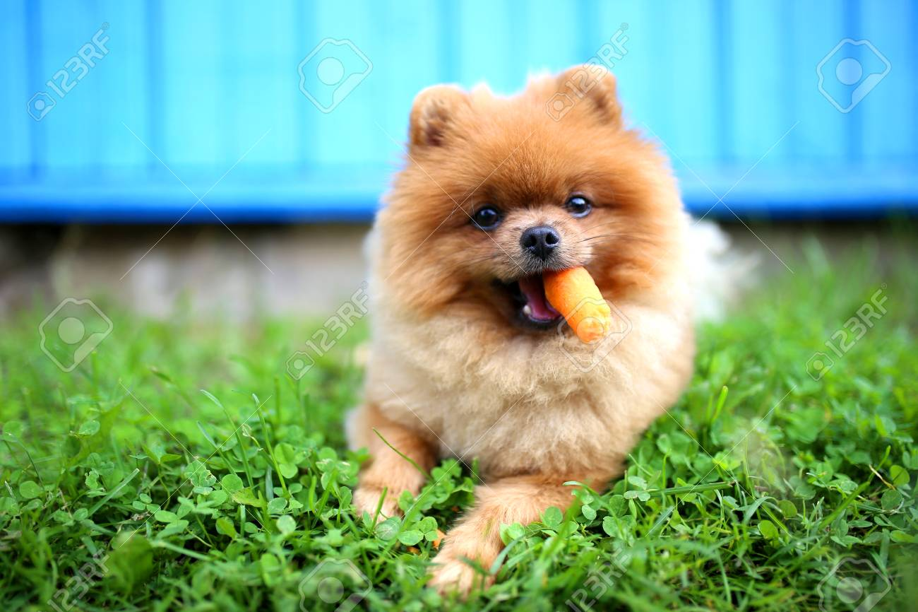 Pomeranian Dog Eat Carrot Dog Outdoor Beautiful And Clever Stock