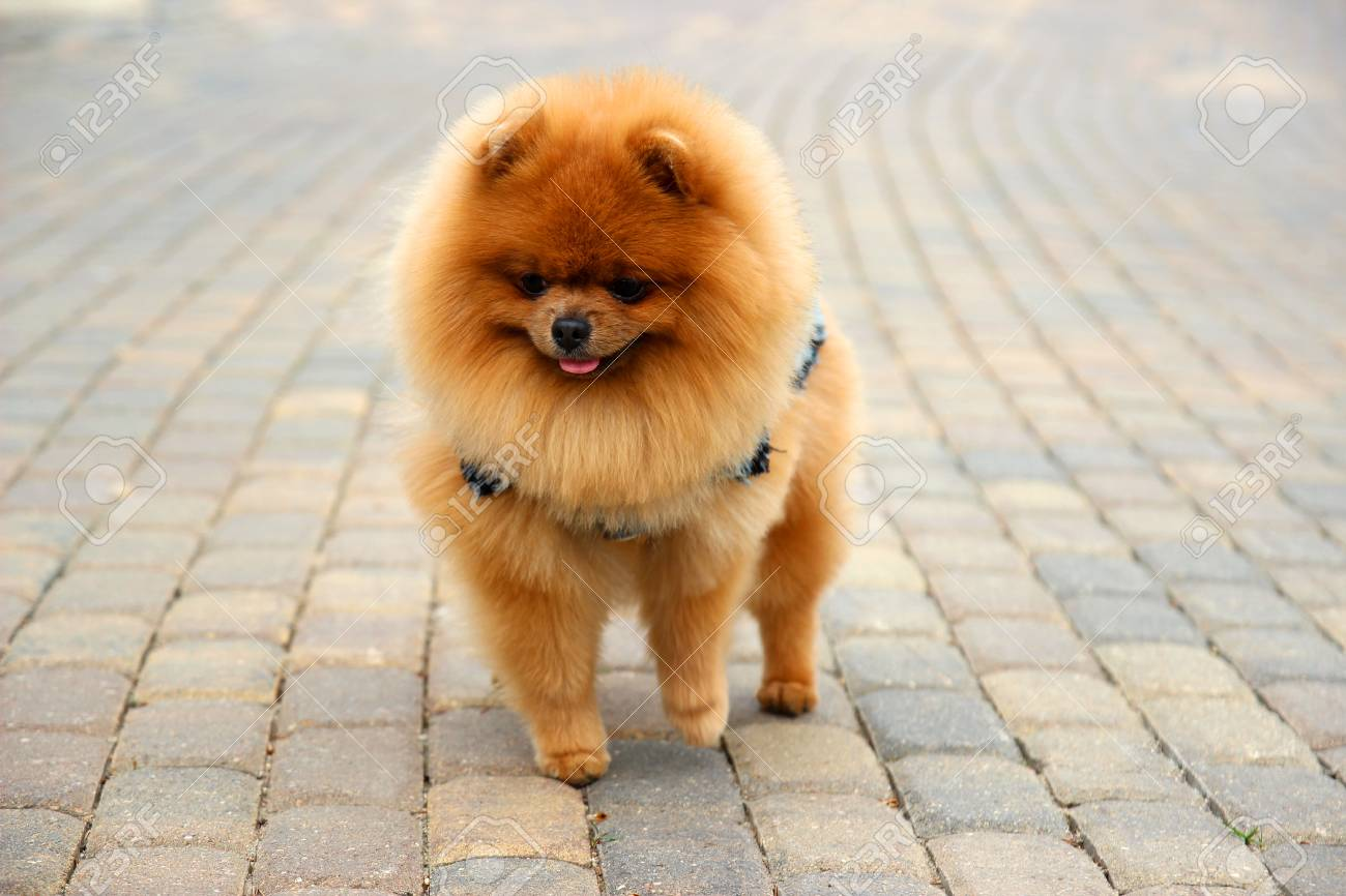 Pomeranian Dog In A Park Cute Beautiful Dog Stock Photo Picture And Royalty Free Image Image 92684952