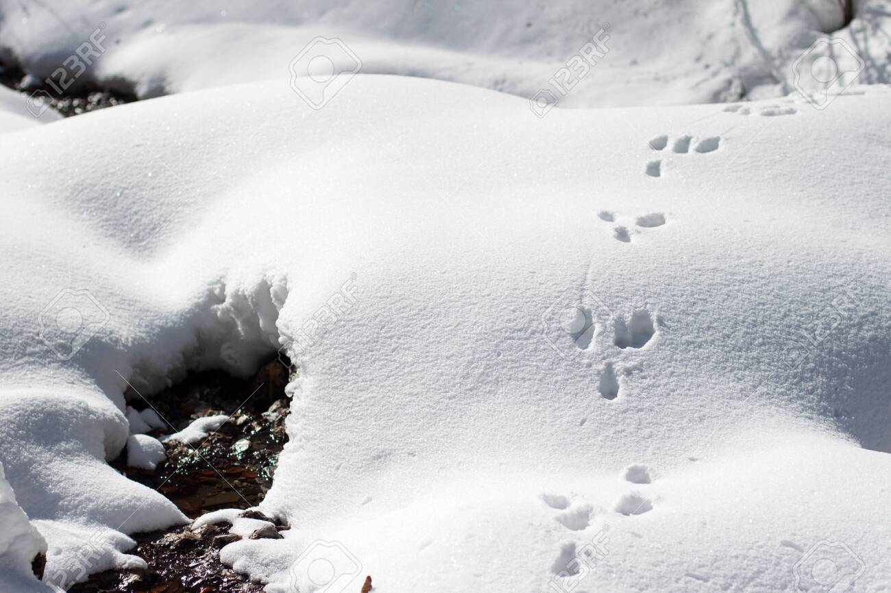 Wild rabbit (bunny) tracks on the snow, near a water stream in