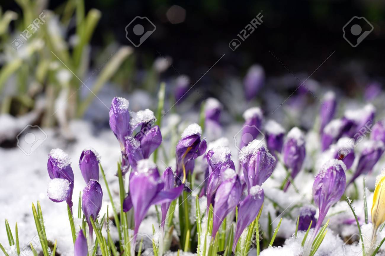 Purple crocuses through the snow Stock Photo - 4699974