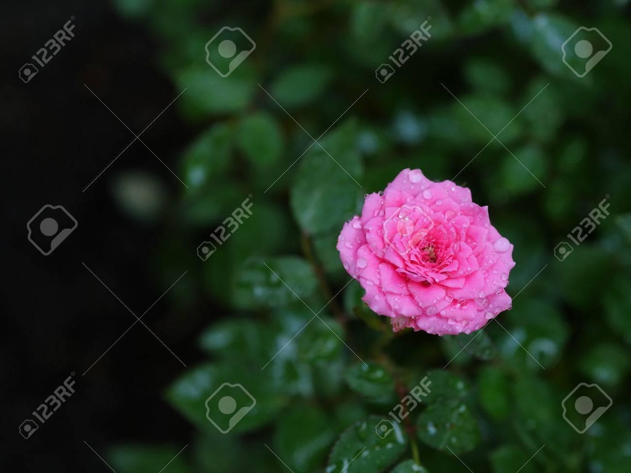 Le rose in miniatura sono perfettamente ridimensionate versioni