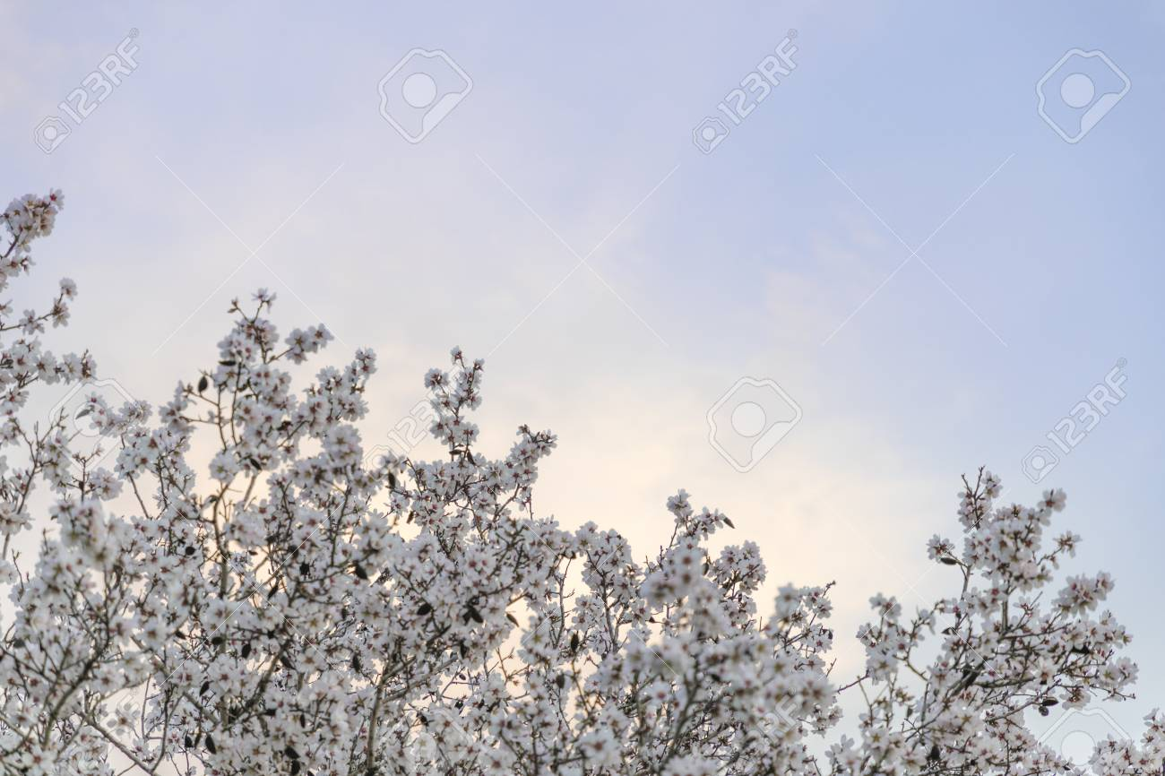 Almond Tree White Blossom Green And Brown Branches Stretching Stock Photo Picture And Royalty Free Image Image 102034480