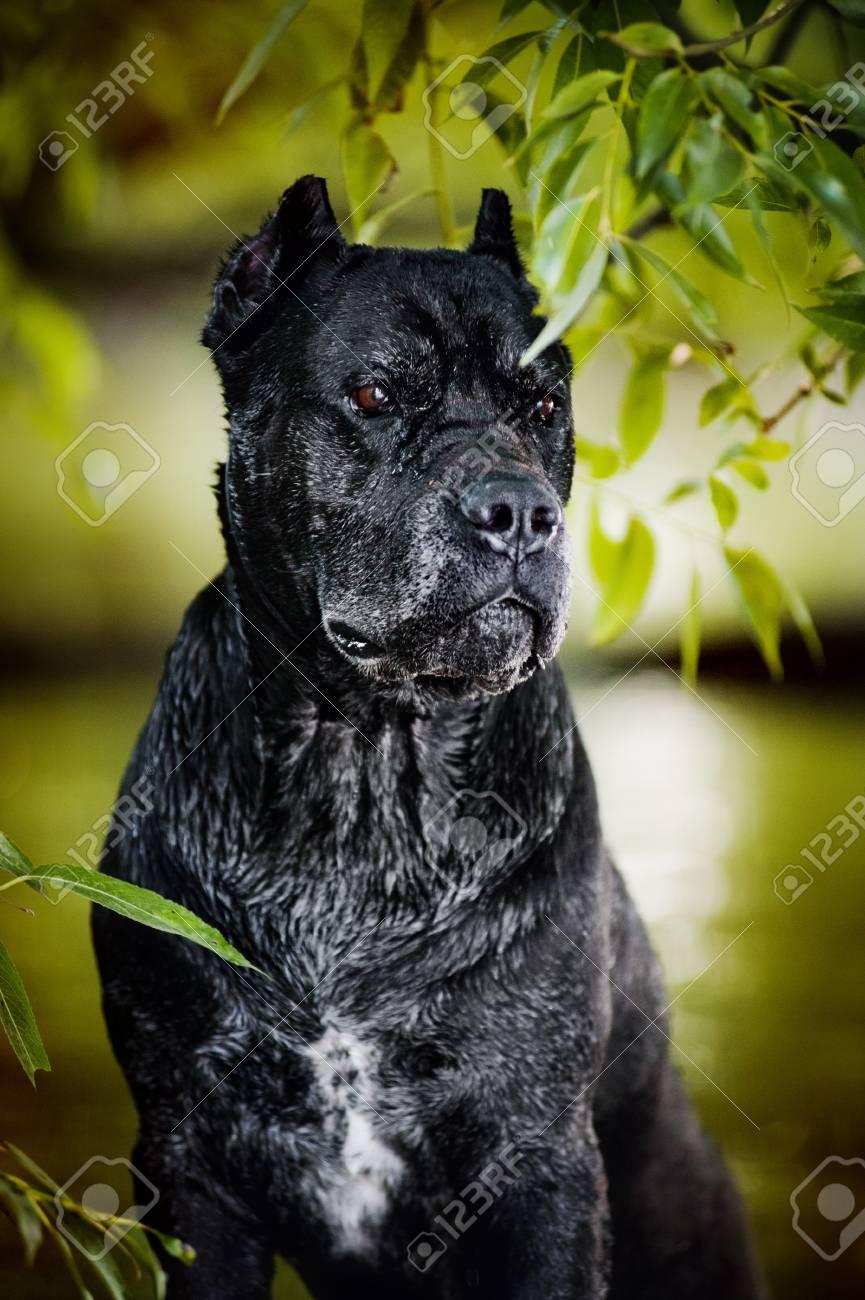 Dog Cane Corso Portrait Im Wasser Lizenzfreie Fotos Bilder Und