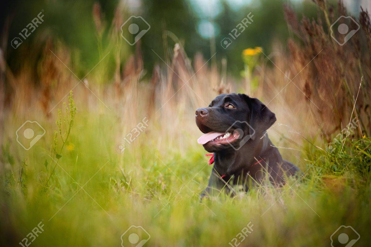 brown labrador lying  on the grass in summer Stock Photo - 18453061